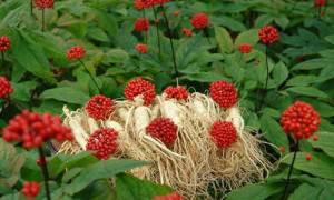 Травы-укрепляющие-иммунитет-женьшень-3