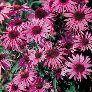 Травы-укрепляющие-иммунитет-эхинацея-пурпурная-1